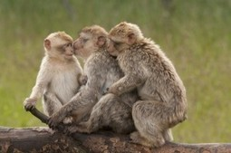 VICTORY: Air China Will Stop Shipping Monkeys to ... - Animal Writes | Animals R Us | Scoop.it