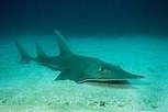 Rays In Danger! | All about water, the oceans, environmental issues | Scoop.it