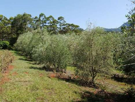 Will Olives grow better in Northern NSW ? Biochar Project | BioChar | Scoop.it