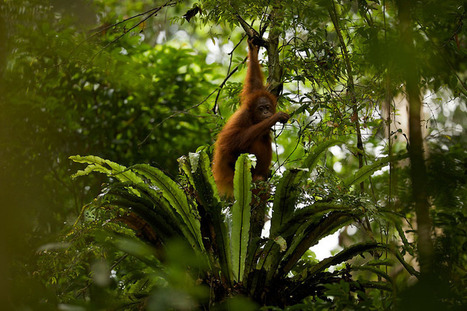 In Borneo's Forests, Impacts and Opportunities | Stories | WWF | Year 7 Science: Endangered Species – Orangutans | Scoop.it