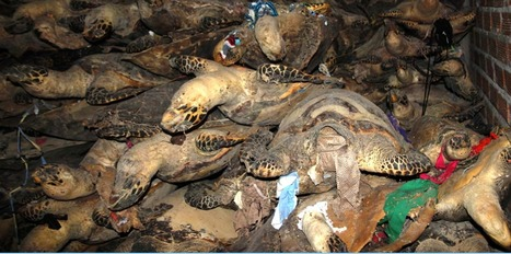 Prosecuting Vietnam's Infamous Marine Turtle Kingpin | Rhino Poaching & Wildlife Crime | Scoop.it