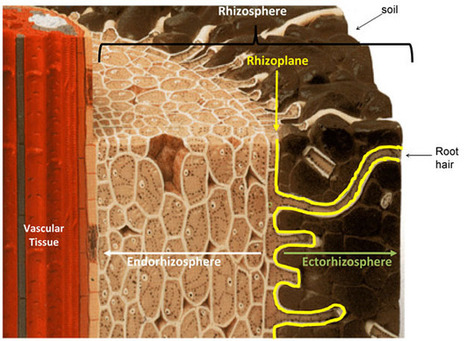 The Rhizosphere - Roots, Soil and Everything In Between | Learn Science at Scitable | Rhizosphere | Scoop.it