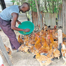 Kienyeji chicken lays the golden egg for youths | Kenya School Report - Career Builder | Scoop.it