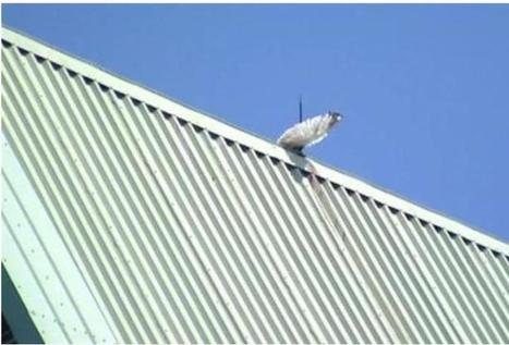 Seagull Impaled On Church Roof Since Thursday | Animals R Us | Scoop.it