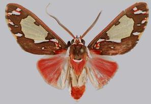 Cinq nouveaux Papillons décrits de Guyane | EntomoNews | Scoop.it