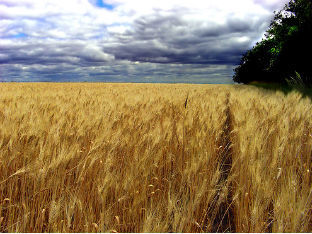 No market for genetically modified wheat, CWB says   Food issues   Scoop.it