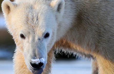 Regarder les ours polaires en direct de la baie d'Hudson, c'est possible | Biodiversité | Scoop.it
