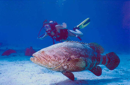 Scuba diving industry supports maintaining moratorium on hunting goliath grouper | diver | Scoop.it