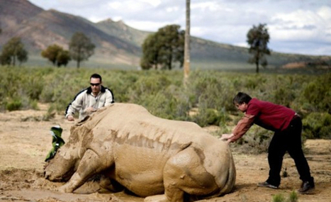 The solution to rhino poaching? | What's Happening to Africa's Rhino? | Scoop.it
