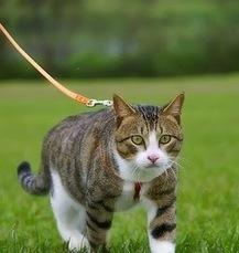 Thú tiêu khiển dẫn mèo đi bộ - Thức ăn cho thú cưng | nanapet | Scoop.it