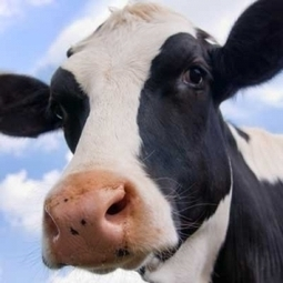 Origins of domestic cattle traced back 10,500 years | Aux origines | Scoop.it