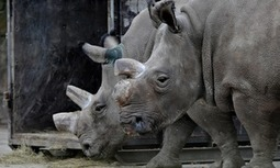 Wildlife conservation: can the northern white rhino escape extinction? | What's Happening to Africa's Rhino? | Scoop.it