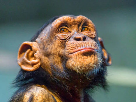 Chimpanzees Can Vary Smiles like Humans, Says New Study - Sci-News.com | Smiles | Scoop.it