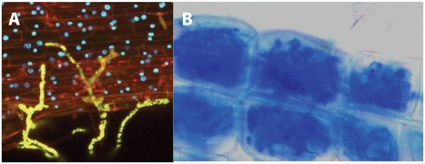 PLoS Pathogens: The Arbuscular Mycorrhizal Symbiosis: Origin and Evolution of a Beneficial Plant Infection | AnnBot | Scoop.it