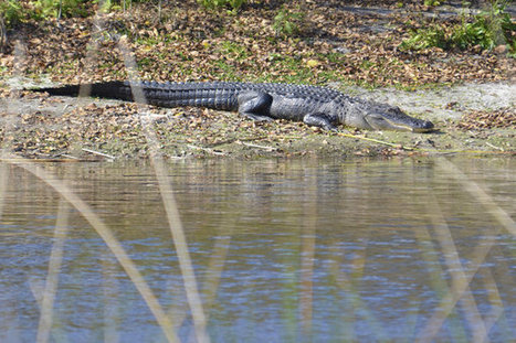 Alligators Lurking On Long Island, 9th In 6 Weeks | | What's Happening on Long Island | Scoop.it