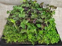 Hybrid Microherb/Microgreen Tray | Vertical Farm - Food Factory | Scoop.it