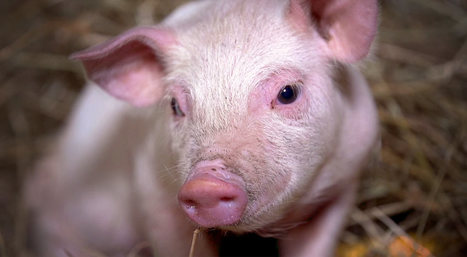 See what happens when bacon is advertised truthfully... | Nature Animals humankind | Scoop.it