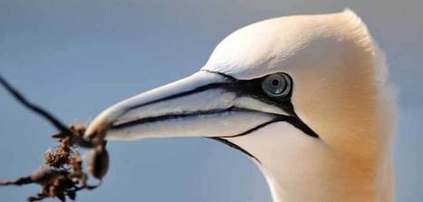 #Scottish #Seabird Centre ~  Bass Landings | Rescue our Ocean's & it's species from Man's Pollution! | Scoop.it