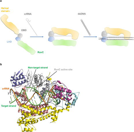 The crystal structure of Cpf1 in complex with CRISPR RNA  | SynBioFromLeukipposInstitute | Scoop.it