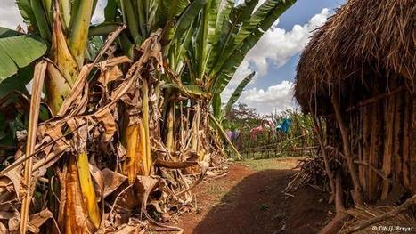 Faced with climate change, Ethiopia rediscovers an ancient staple crop | Global Ideas | DW.COM | 03.11.2015 | Food issues | Scoop.it