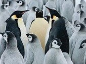 Emperor Penguin Picture -- Antarctica Wallpaper -- National Geographic Photo of the Day | Friday Reading jv | Scoop.it