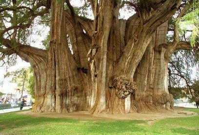 The Tree with the Largest Diameter in the World | Travels | Scoop.it