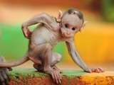 Macaque Picture -- Animal Wallpaper -- National Geographic Photo of the Day | Globicate - Global Education for a New Generation | Scoop.it
