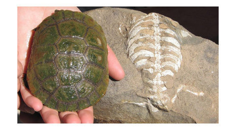 Origin of the Turtle Shell | Geology | Scoop.it