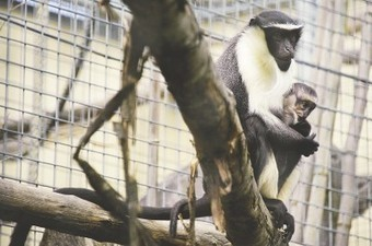 Your chocolate addiction may be hurting African monkeys - Washington Post | fair trade chocolate | Scoop.it