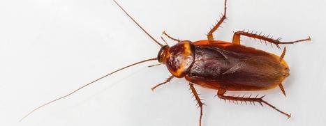 COCKROACH CONTROL- R.I.P. PEST MANAGEMENT | R.I.P. Pest Management | Pest Exterminator Northern Beaches | Scoop.it