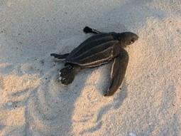 Save Leatherback Turtles from Extinction | Leatherback Sea Turtles | Scoop.it