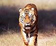 Tiger Safari India Tiger Tours India Wildlife Tours   India Travel Package   Scoop.it