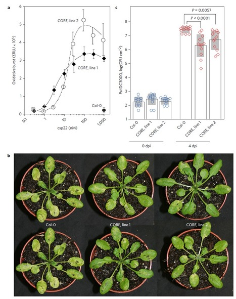 The pattern-recognition receptor CORE of Solanaceae detects bacterial cold-shock protein | Microbiome and plant immunity | Scoop.it