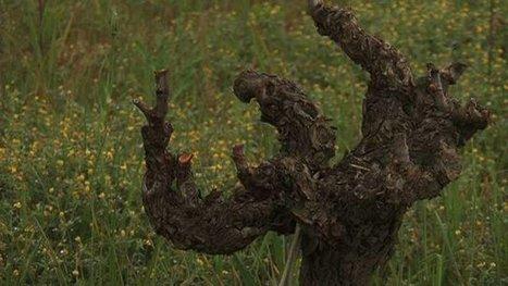 Un vigneron du Languedoc et un scientifique font revivre un vin de 300 ans | Le Vin et + encore | Scoop.it