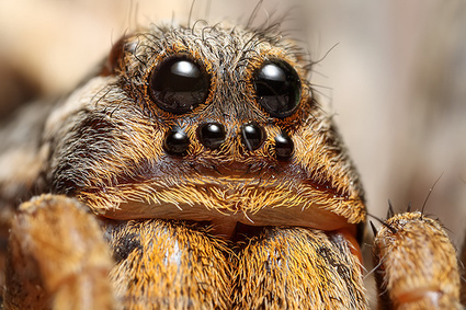 I, for One, Welcome Our New, Giant, Hairy, Eight Legged, Super Fast Overlords | GarryRogers Biosphere News | Scoop.it