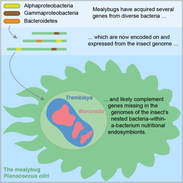 Cell - Horizontal Gene Transfer from Diverse Bacteria to an Insect Genome Enables a Tripartite Nested Mealybug Symbiosis | Sheng Yang's Papers of Interest | Scoop.it