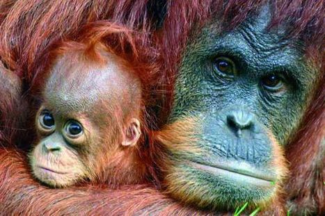 Go Orange for Orangutans: Palm oil 'gold rush' is destroying homes | Rainforests: Year 6 | Scoop.it