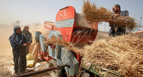 Is Egyptian government pushing farmers to stop growing wheat? | Purpose-oriented communications 4dev | Scoop.it