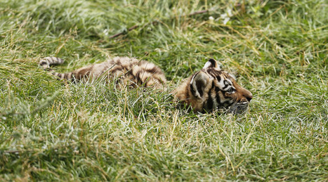 Siberian tiger cub found shot to death 'point blank' in Russian Far East | ProNews | Scoop.it
