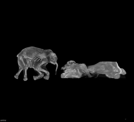 CT Scans of Baby Mammoths Reveal Ice Age Mystery | Science -Facts and Fiction | Scoop.it