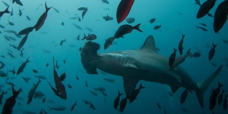 Microsoft billionaire Paul Allen is on a mission to save the world's sharks, and he's found some lurking in unexpected places | GarryRogers Biosphere News | Scoop.it