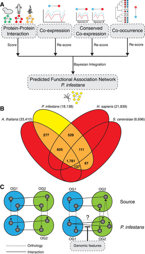 BMC Genomics (2013): A predicted functional gene network for the plant pathogen Phytophthora infestans as a framework for genomic biology | Effectors and Plant Immunity | Scoop.it