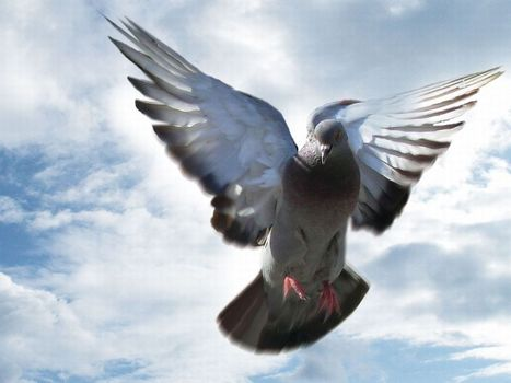 Homing pigeons may navigate with maps of infrasound | General SciTech | Scoop.it