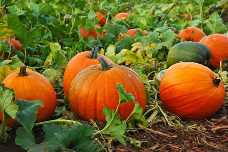 Indigenous Peoples Have Celebrated the Pumpkin for Centuries | Agricultural Biodiversity | Scoop.it
