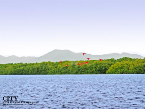 See the Scarlet Ibis Roost in Caroni Swamp Trinidad | Caribbean Island Travel | Scoop.it