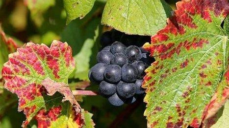 Le Bouzy rouge, un vin tranquille dans l'effervescence de la Champagne | Vos Clés de la Cave | Scoop.it