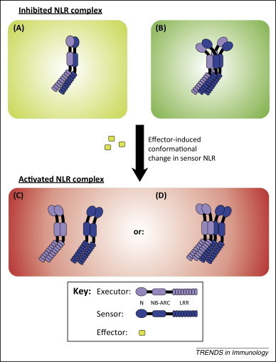 NOD-like receptor cooperativity in effector-triggered immunity   Plant-Microbe interactions   Scoop.it