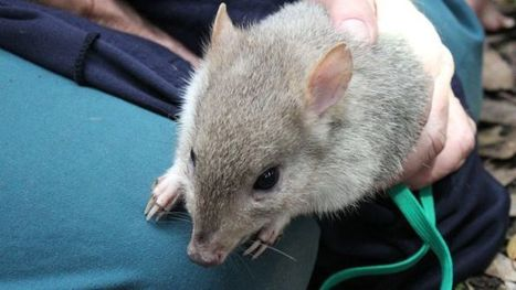 Rare marsupials found fat and happy in new home | Animals R Us | Scoop.it