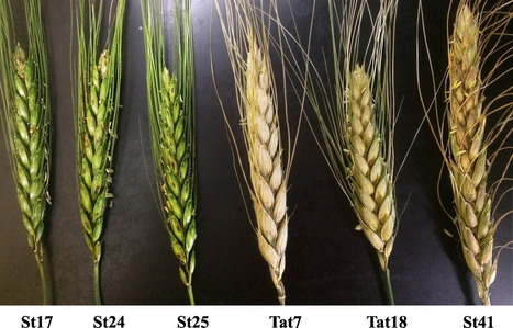 Rmg7, a New Gene for Resistance to Triticum Isolates of Pyricularia oryzae Identified in Tetraploid Wheat | Rice Blast | Scoop.it