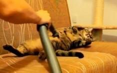 Felicidad total: gatos gozan masajes de la aspiradora » The Clinic ... | José María Ayús | Scoop.it